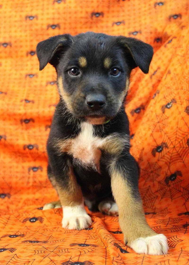 Australian Shepherd Rottweiler Mix Size - Goldenacresdogs.comAustralian Shepherd Rottweiler Mix Information