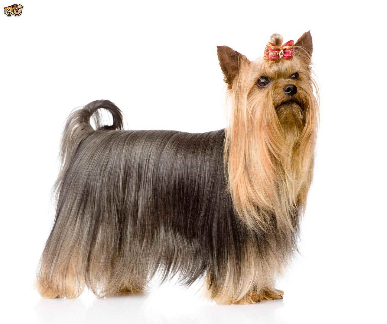 Australian Silky Terrier Vs Yorkie Pets And Dogs