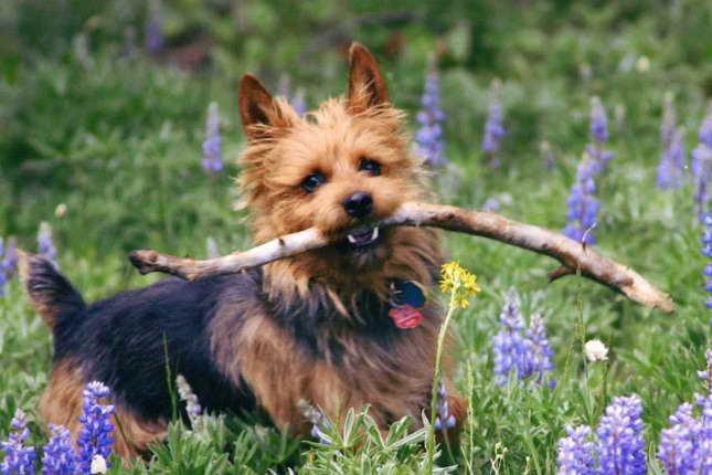Australian Terrier Puppies For Sale Near Me Pets And Dogs