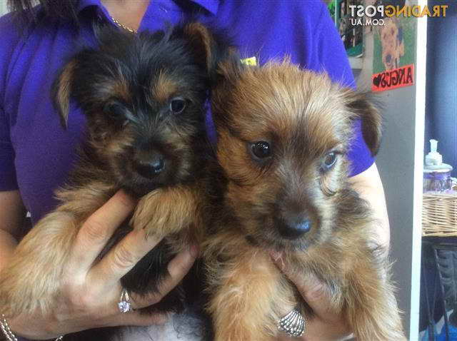 Australian Terrier Puppy For Sale Pets And Dogs