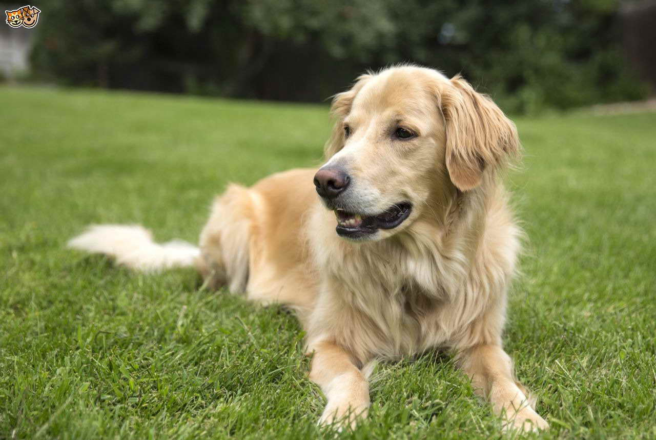 golden retriever lifespan average life expectancy of a golden retriever pets and dogs 7388