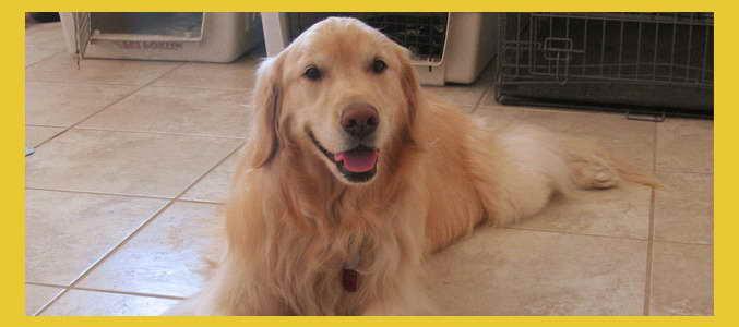 Az Golden Retriever – Pets and Dogs