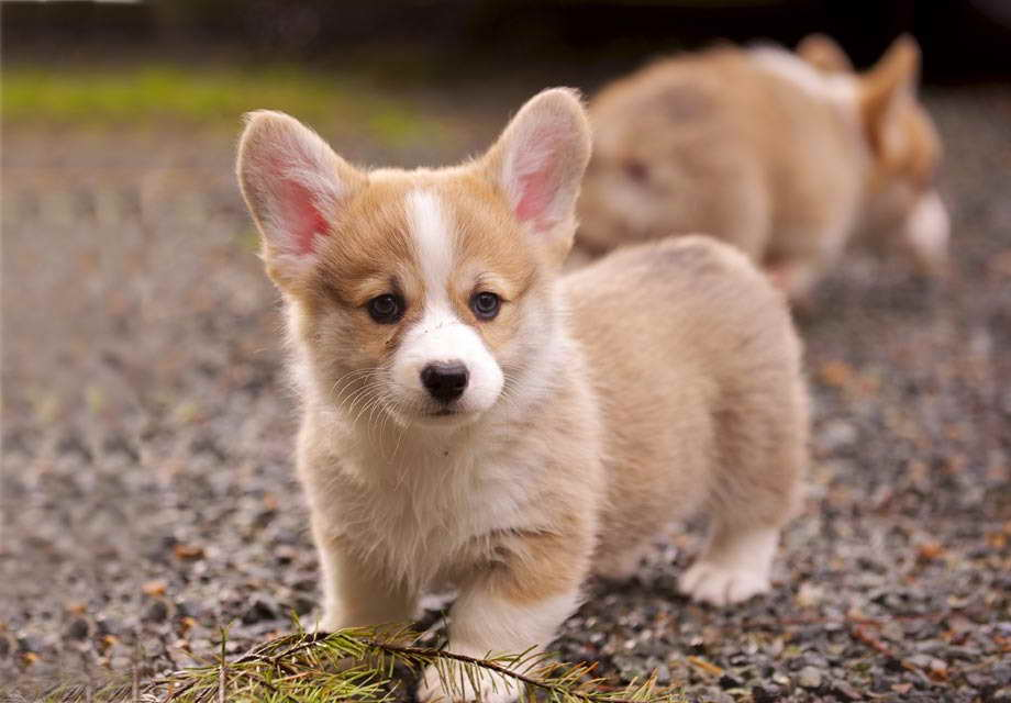 Baby Corgi Puppies For Sale