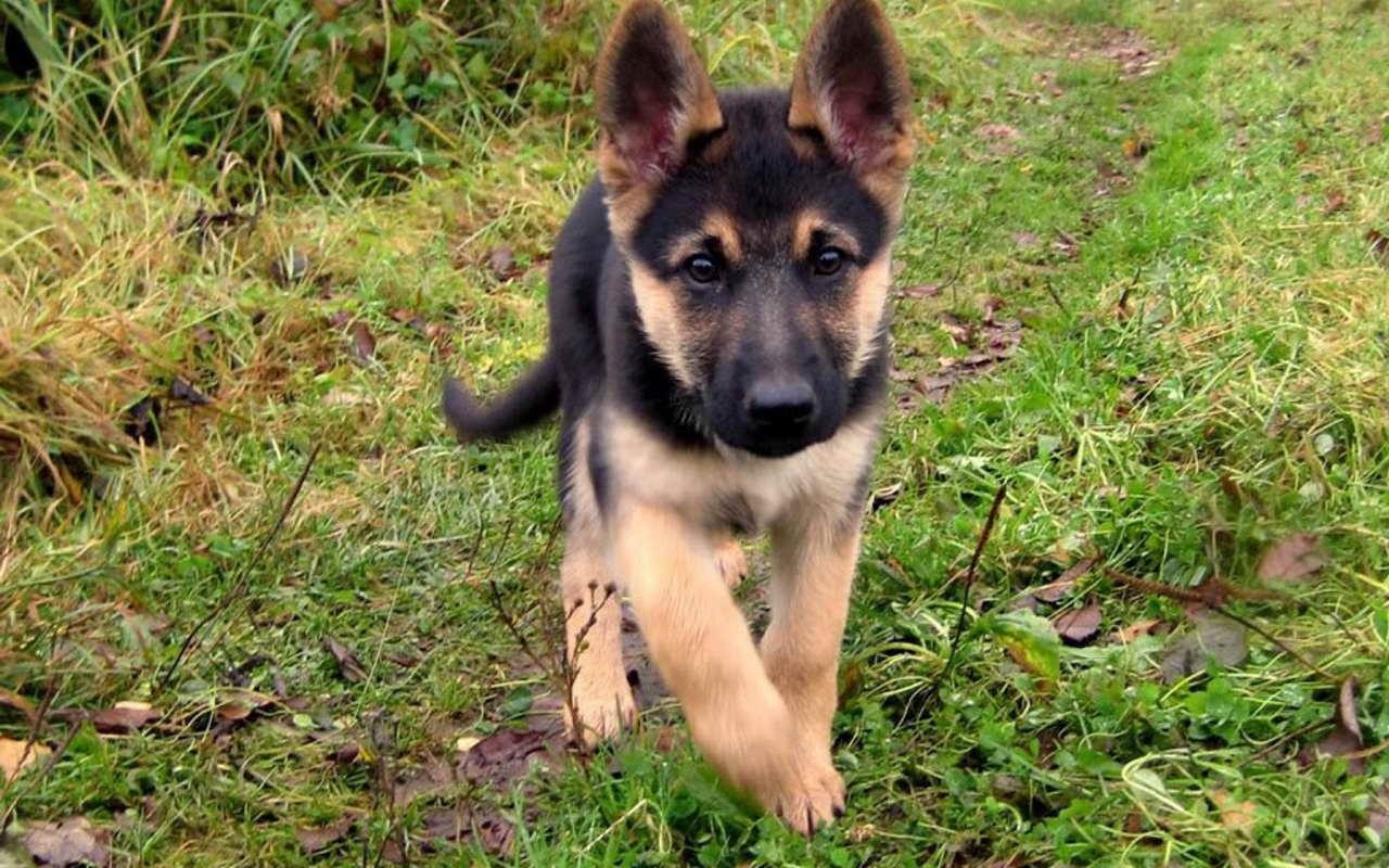 Baby German Shepherd For Free