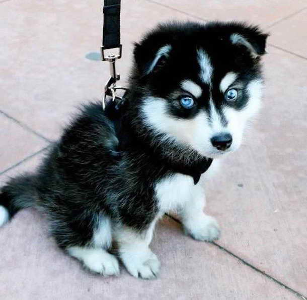 14 Husky Puppies That Should Be Illegal