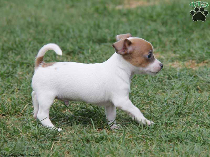 Baby Jack Russell For Sale