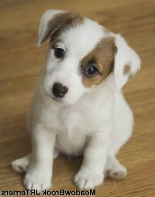 Baby Jack Russell Puppies