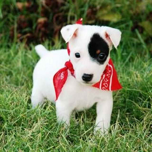 Baby Jack Russell Terrier