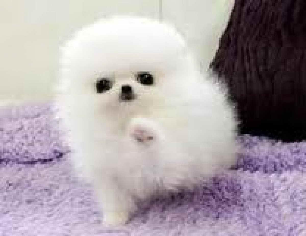 Baby Pomeranian Puppies For Petsidi