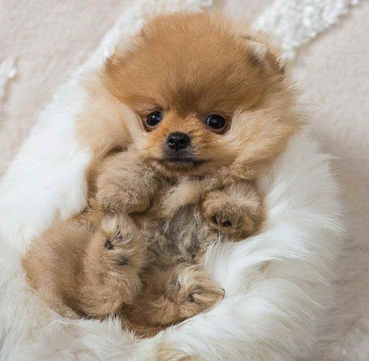 Information About Baby Pomeranian Petsidi