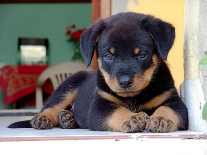 Baby Rottweiler Puppies Pets And Dogs