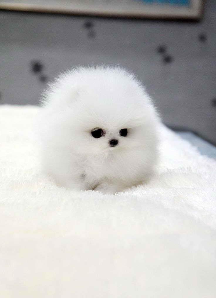 Baby Teacup Pomeranian For Petsidi