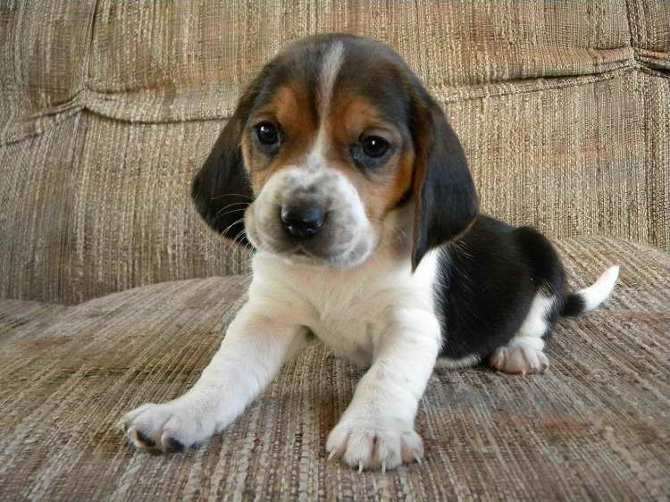 Basset Beagle Mix Puppies For Sale Pets And Dogs