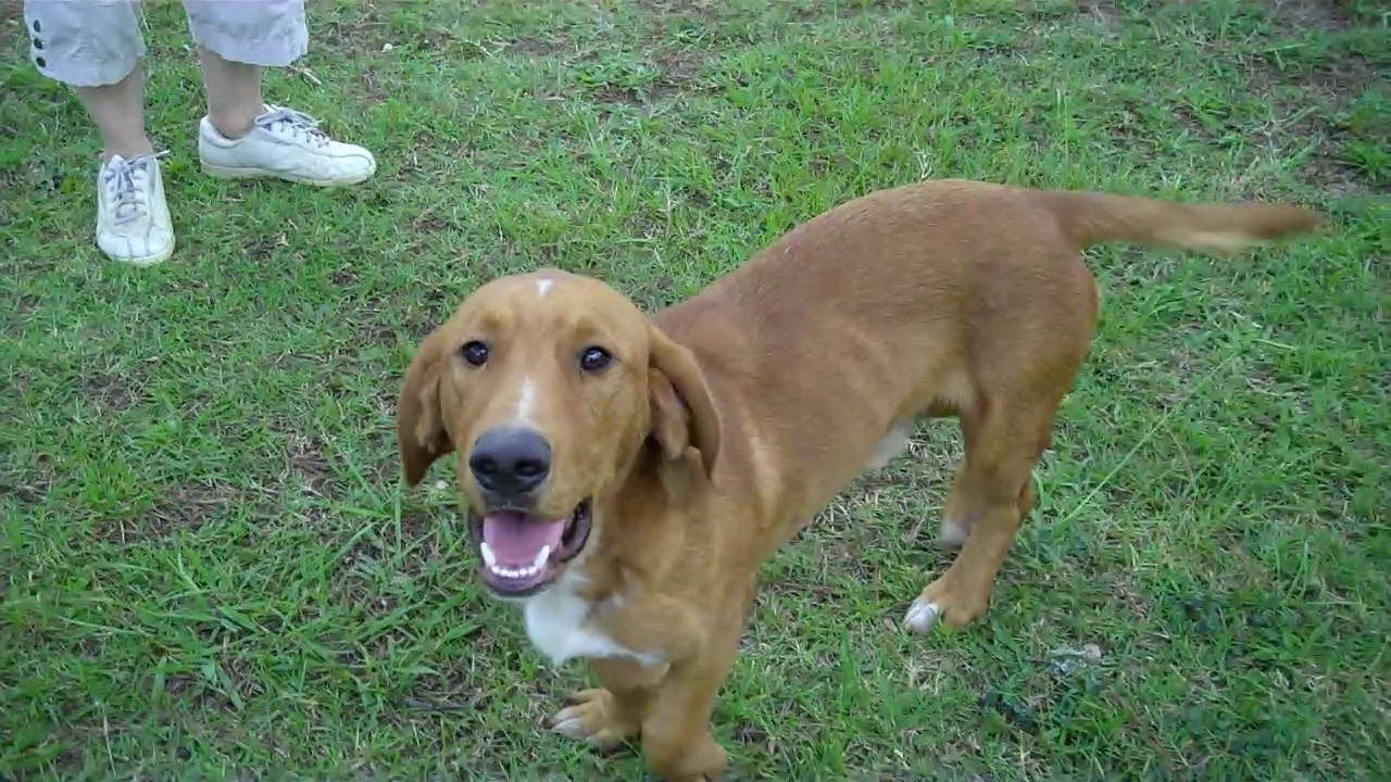 Basset Hound And Golden Retriever Mix