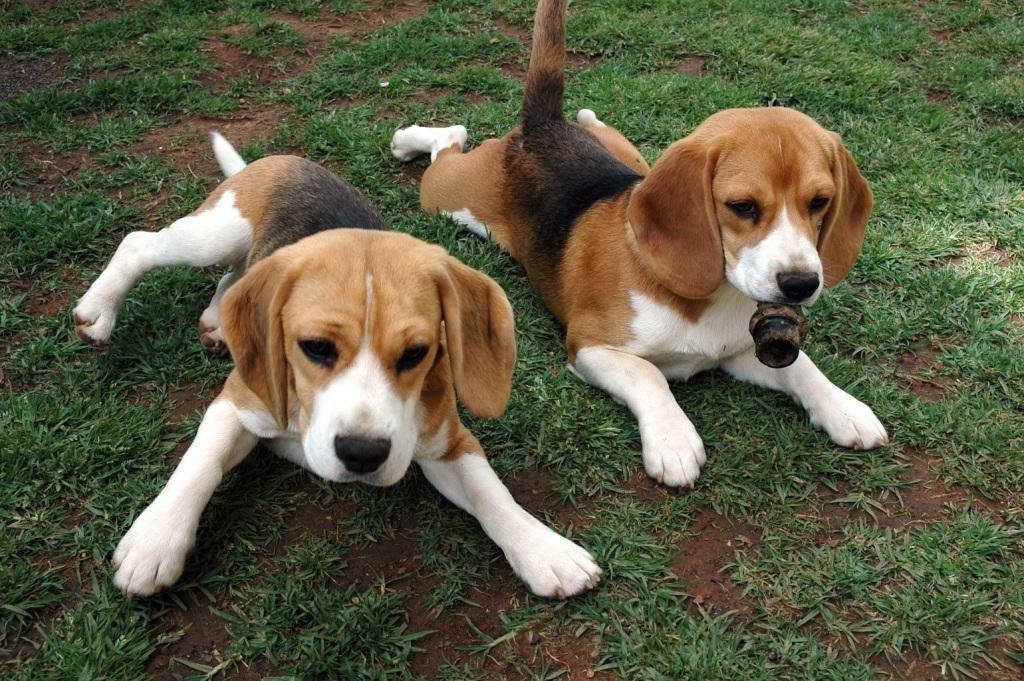 Basset Hound Beagle Mix Puppies For Sale