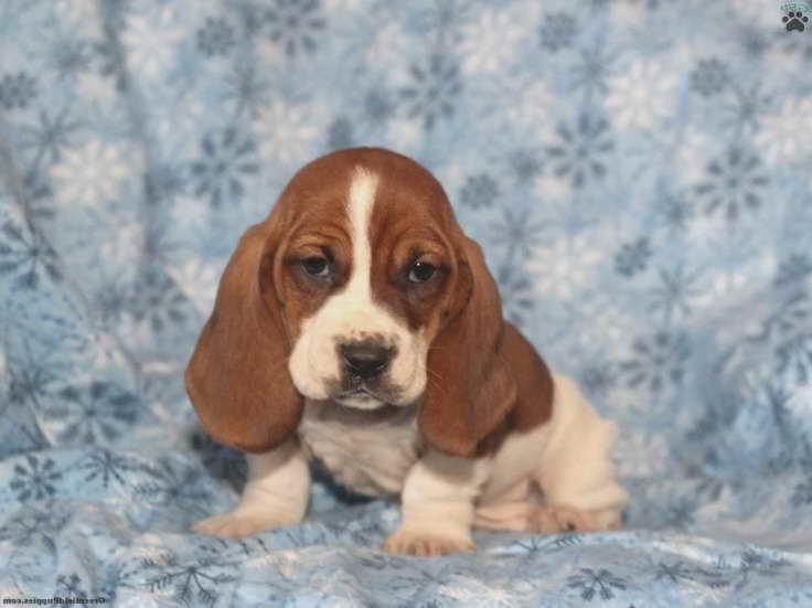 Basset Hound For Sale Wisconsin
