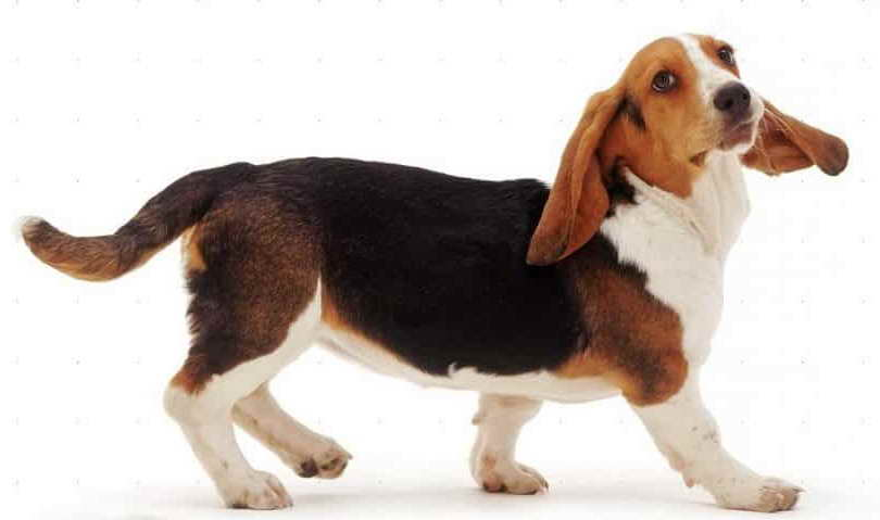 Basset Hound Information And Facts