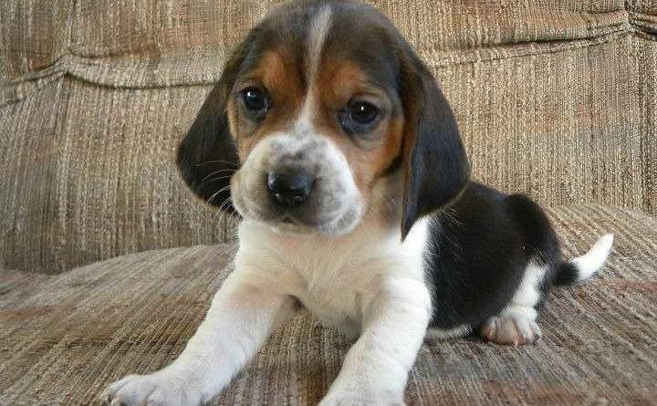 Basset Hound Mix Puppy