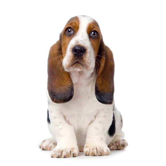 Basset Hound Names Male