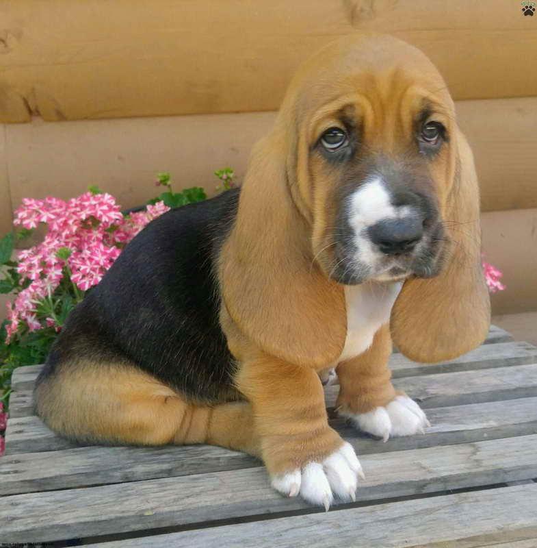Basset Hound Puppies For Sale Colorado   PETSIDI