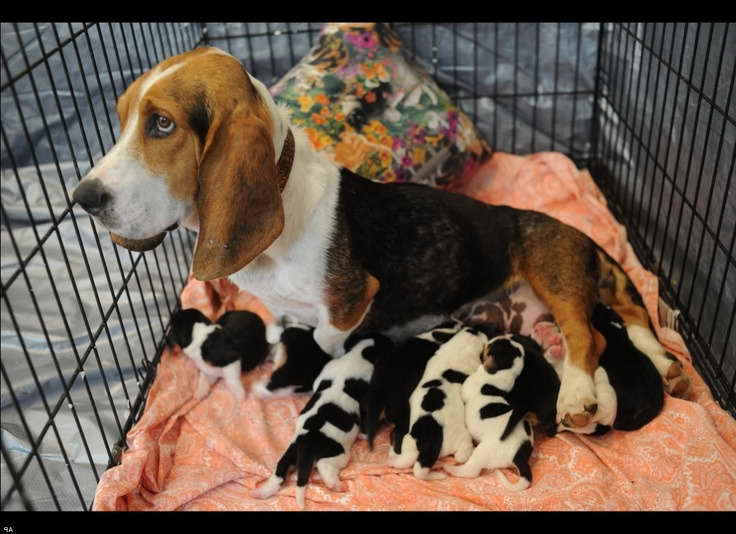 Basset Hound Puppies For Sale In Knoxville Tn   PETSIDI