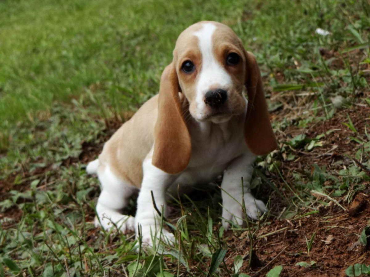 Basset Hound Puppies For Sale In Minnesota Petsidi