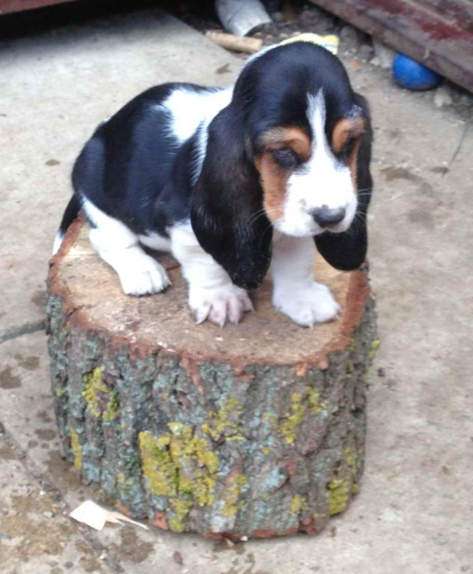 Basset Hound Puppies For Sale In Nebraska Pets And Dogs