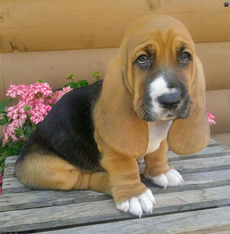 Basset hound puppies for sale in pa pets and dogs for Dog kennels for sale in pa