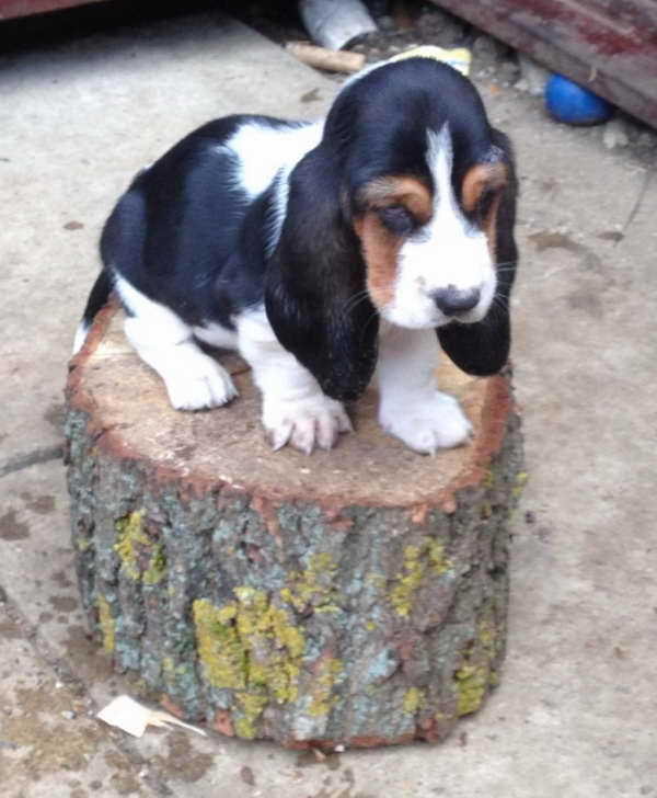 Basset Hound Puppies For Sale Oregon Pets And Dogs