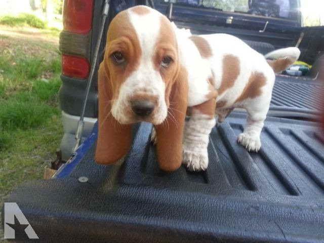 Basset Hound Puppies In Oklahoma