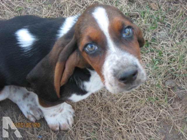 Basset Hound Puppies In Pa