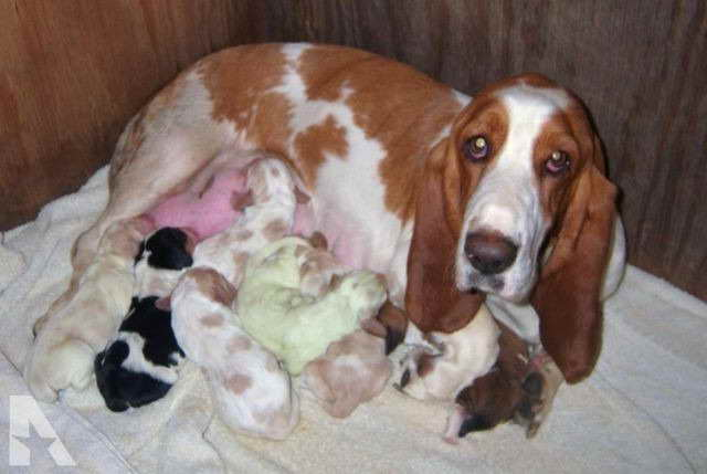 Basset Hound Puppies In Texas