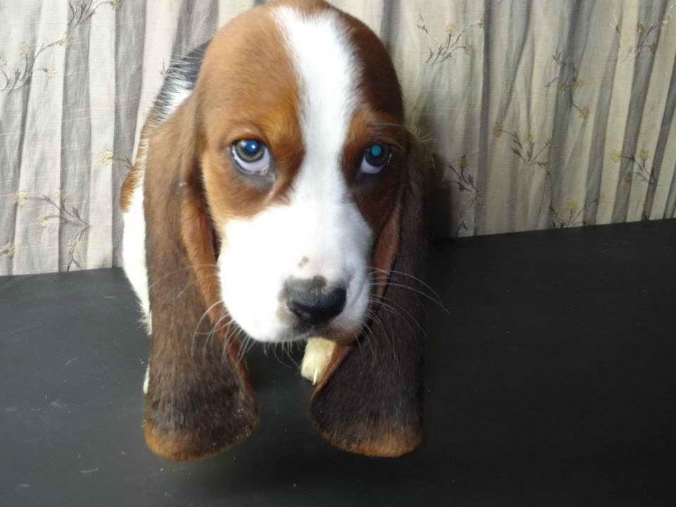 Basset Hound Puppies Iowa