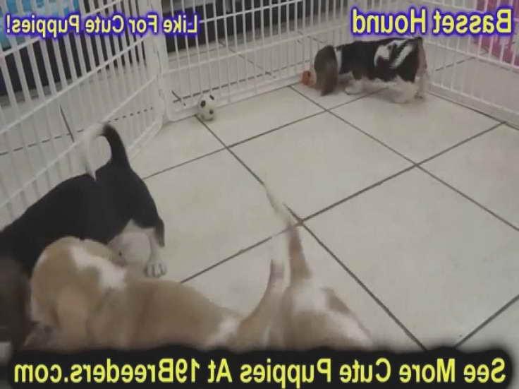 Basset Hound Puppies Jacksonville Fl