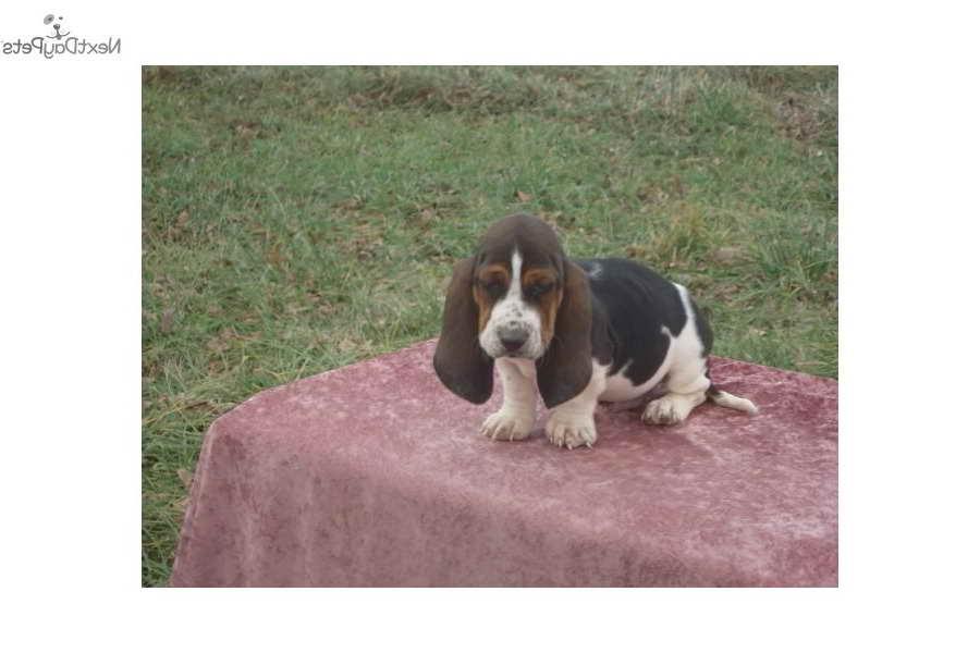 Basset Hound Puppies Kansas City
