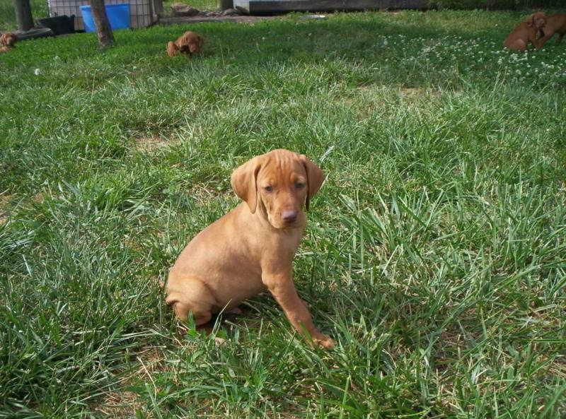 Basset Hound Puppies Kansas