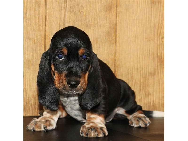 Basset Hound Puppies Knoxville Tn