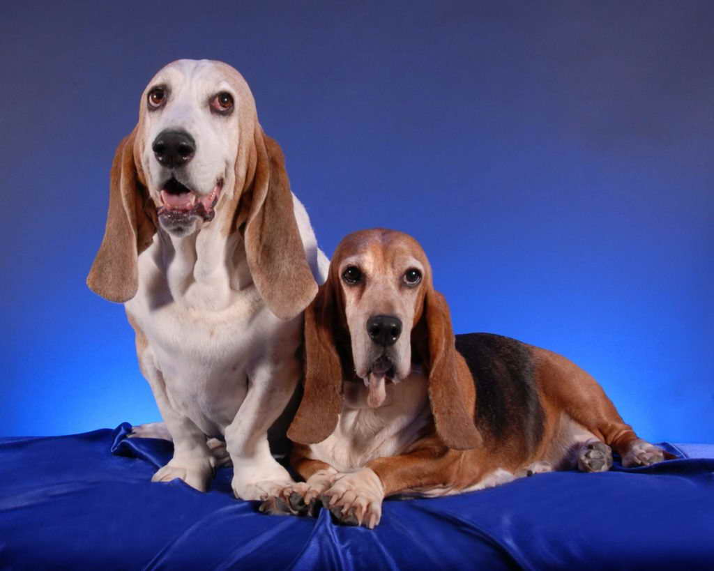 Basset Hound Puppies Rochester Ny Pets And Dogs