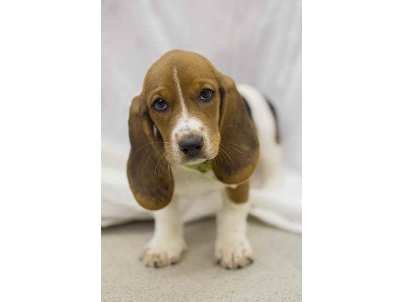 Basset Hound Puppies Wichita Ks | PETSIDI