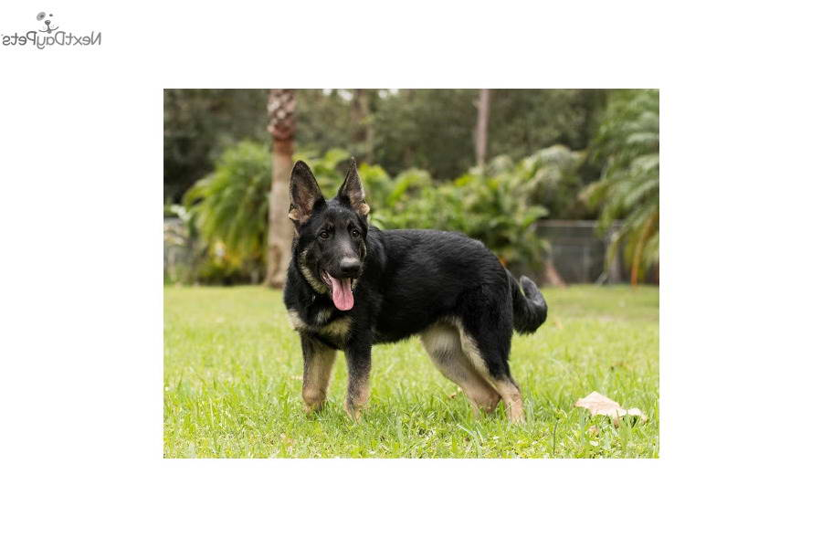 bay area german shepherd bay area german shepherd pets and dogs 5821