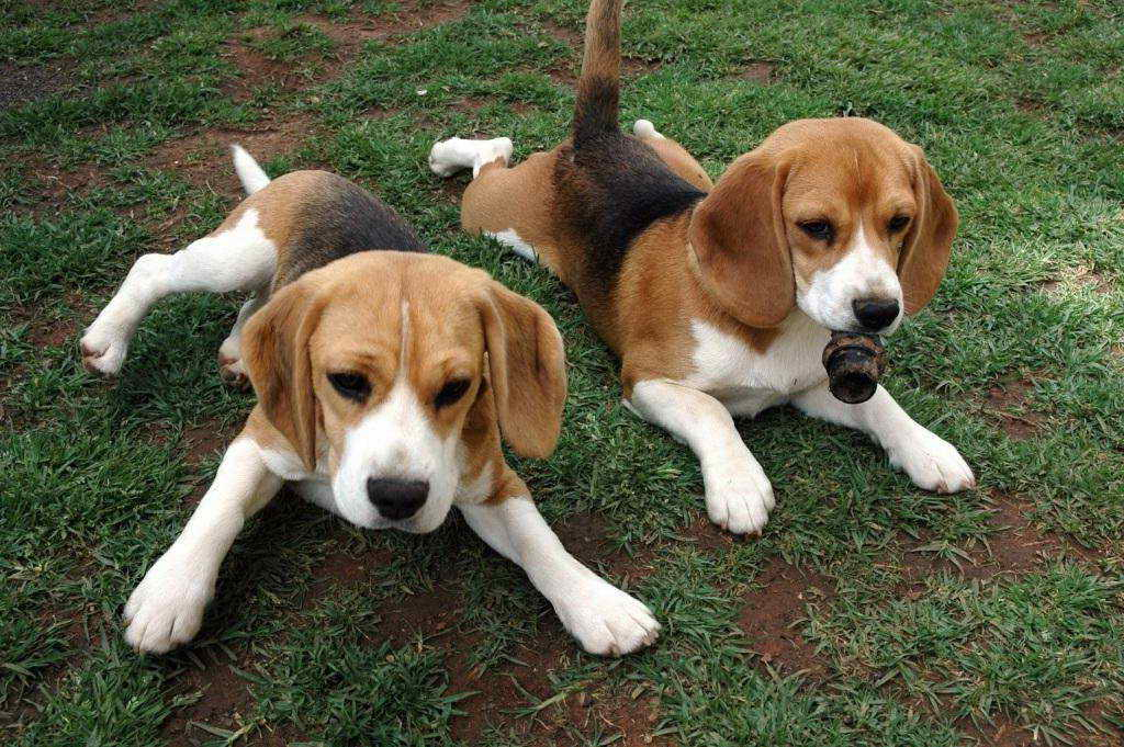 Beagle Basset Hound Mix Puppies For Sale