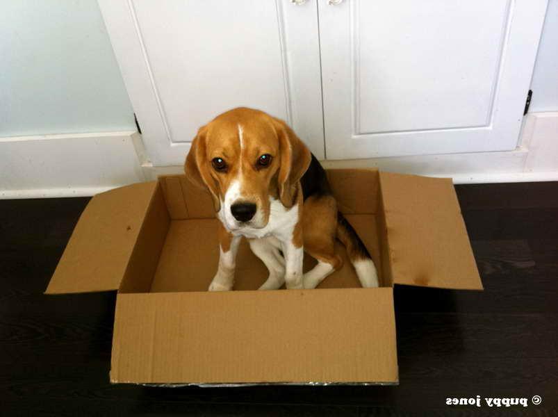 beagle box pets and dogs