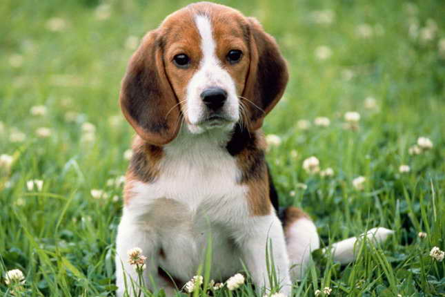 Beagle Dog For Sale Near Me Pets And Dogs