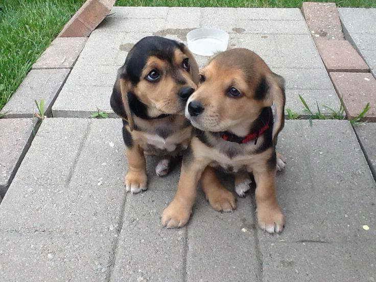 Beagle Lab Puppies For Sale   PETSIDI