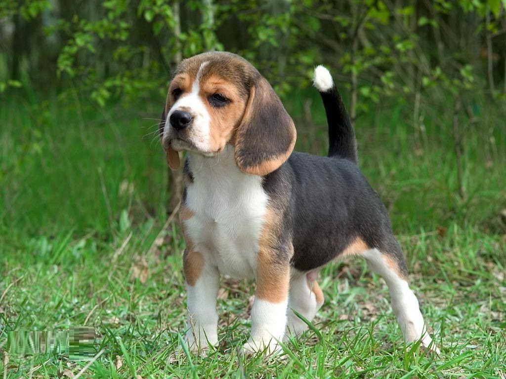 Beagle Lifespan Pets And Dogs