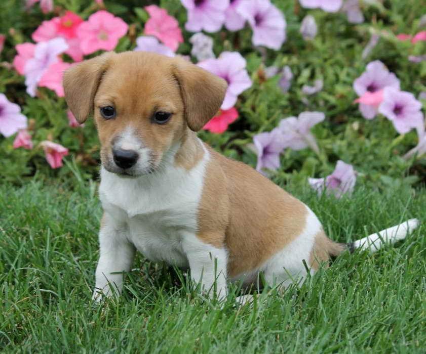 Beagle Mix Puppies Near Me