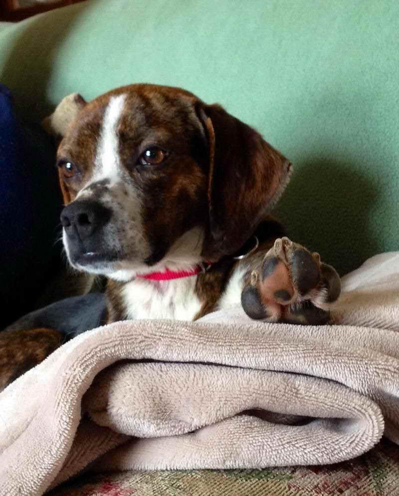 Beagle Puppies Buffalo Ny   PETSIDI