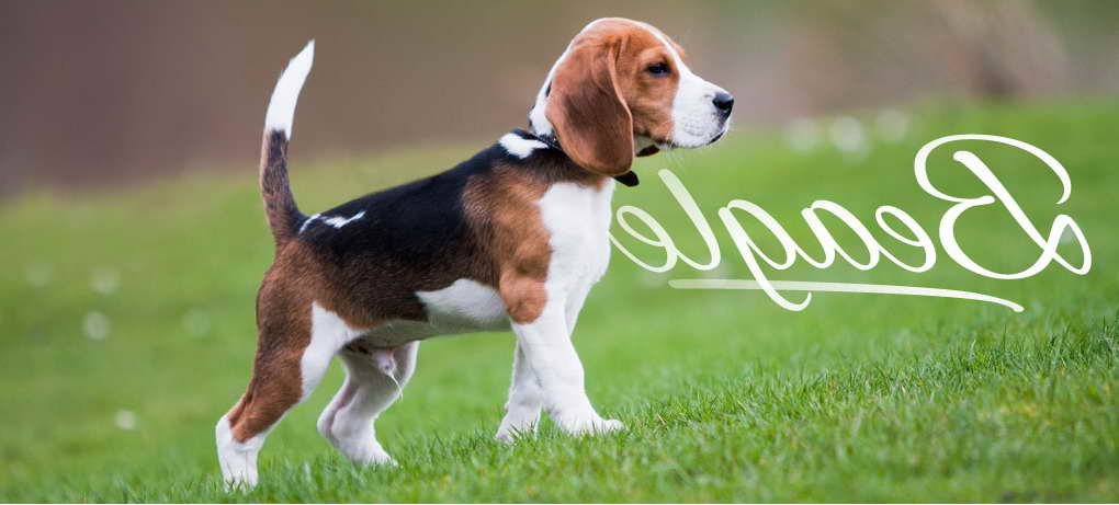 Beagle Puppies Florida Pets And Dogs
