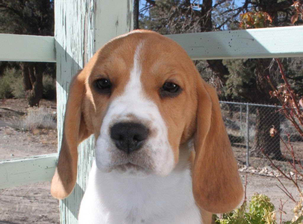 Beagle Puppies For Sale California Pets And Dogs
