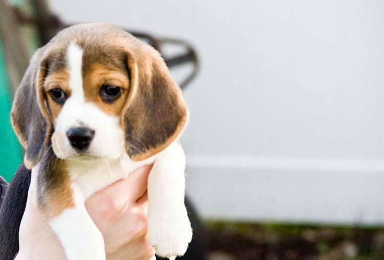 Beagle Puppies For Sale Craigslist Pets And Dogs
